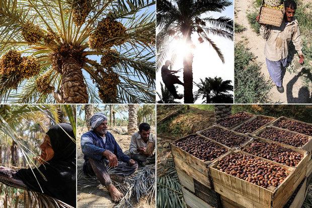 فرصت رمضان برای صادرات خرما هدر رفت/ طلای سیاه در انبارها ماند